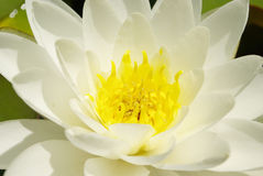 White water lily. Close-up white water lily in the pound at france Stock Photography