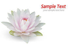 White water lily. On white stock photo
