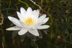 White water-lily. And its reflection Stock Images