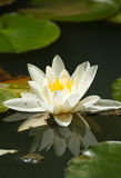 White water lily. On the lake Royalty Free Stock Images