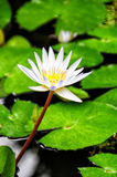 White Water Lily Stock Photo