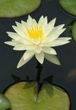 White Water Lily. Royalty Free Stock Photos