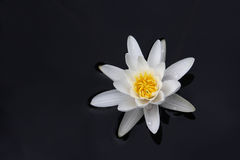 White water lily. On dark background Royalty Free Stock Images