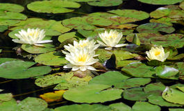 White water lily. Many beautiful white water lily (lotus Stock Image
