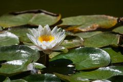 White water lily. On the lake (Nymphaea alba Stock Image