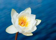 White water lily. Over blue water background Stock Photos