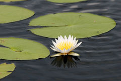 White water lily. White water-lily with green leaves isolated from dark water. Maun. Botswana Stock Photos