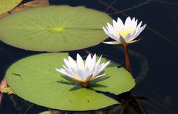 White water lily. White water-lily with green leaves isolated from dark water. Maun. Botswana Stock Photography