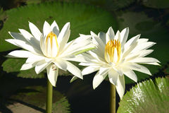 White water-lily Stock Photography