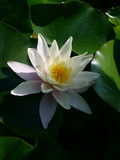 White water-lily royalty free stock photos