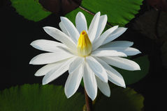 The white water lily. A white water lily in full bloom in the pond Stock Photos