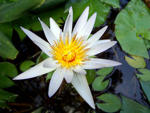 White Water Lily. In Pond with green lily pads stock photos