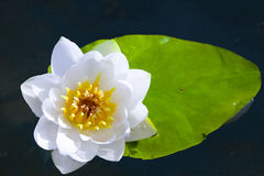 White water-lily Stock Image