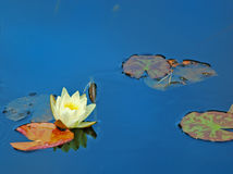 White water lily. On dark blue water Royalty Free Stock Images