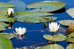 Free White Water Lily Royalty Free Stock Image - 94568626