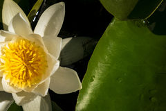White water Lily on a big green leaf with water drops Royalty Free Stock Images