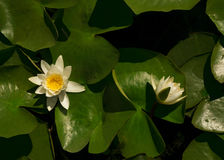 White water Lily on a big green leaf with water drops Royalty Free Stock Photos