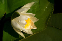 White water Lily on a big green leaf with water drops Stock Image