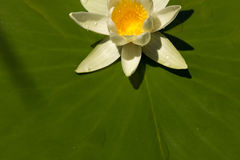 White water Lily on a big green leaf with water drops Stock Photos