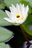 White Water Lily. Blooming White Water Lily Stock Photos