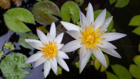 White water lily. Are blooming in the garden Royalty Free Stock Images