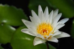 white water lily blooming in the pond green leaf background stock photos