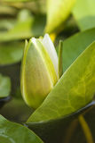 White Water Lily Blossom Among Green Algae In The Lake Stock Photos