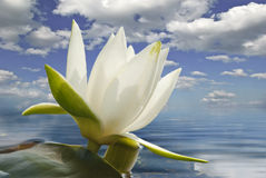 White water lily blossom among green algae in the lake Royalty Free Stock Photos