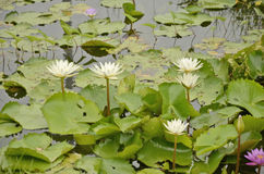 White water lily bush. In the clear canal Stock Photos