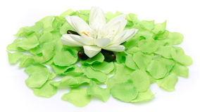 White water lily on a carpet of green petals Royalty Free Stock Photo