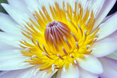 White water lily close up Royalty Free Stock Images