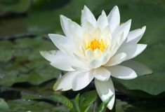 White  water lily close-up Royalty Free Stock Images
