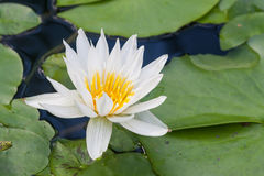 White water lily Royalty Free Stock Image