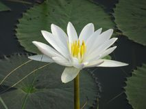White lily flower on water with some leaves. White water lily close-up Stock Photos