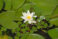 White Water Lily. Closeup in a lake Royalty Free Stock Photo