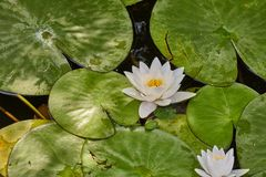 White Water Lily. Closeup in a lake Stock Photo