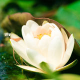 White water lily closeup Royalty Free Stock Photo