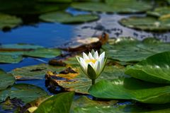 White water lily at Danube delta. A white water lily (Nymphaea alba) blossom among the lilypads at Danube delta in Romania royalty free stock images