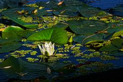 White water lily at Danube delta. A white water lily on the Danube delta in Romania royalty free stock photo