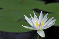White Water Lily in Fakahatchee Strand Preserve State Park, Florida stock photo