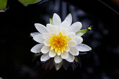 White water lily Royalty Free Stock Photography