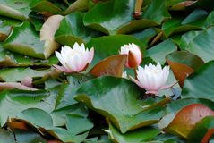 White water lily floating on a lake Stock Image