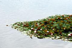 White water lily floating on a lake Stock Photo