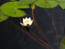 White water Lily Stock Photos