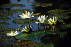 White Water Lily Flower Royalty Free Stock Images