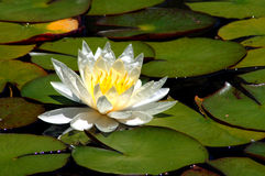 White Water Lily Flower Stock Photo