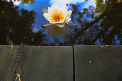 White water lily flower Royalty Free Stock Photography