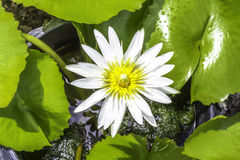 White water lily flower Royalty Free Stock Photos