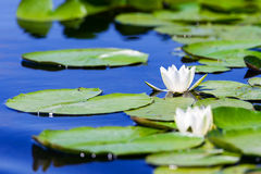 White water lily flower in Danube Delta Royalty Free Stock Photo