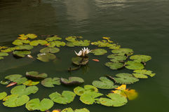 White water lily flower in lake Stock Photography